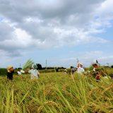2019年度。たわわにゆうき米。稲刈り初日
