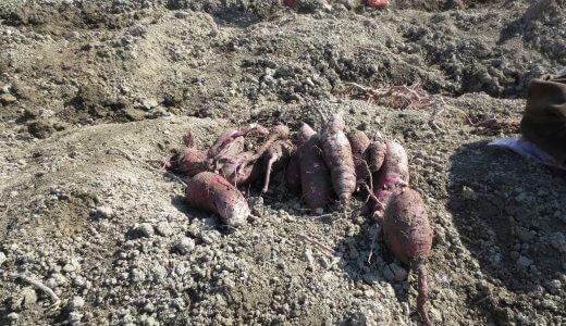第一回『生きる力』芋。イモ掘りパート1