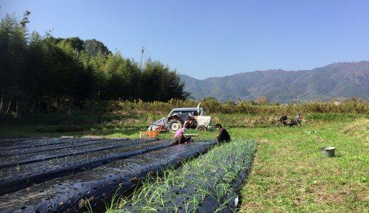 2018玉ねぎの植え付けスタート