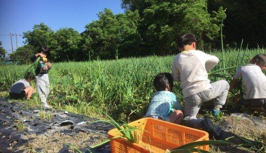 玉ねぎの収穫開始