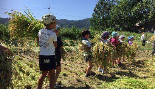 2019年度 稲刈り2