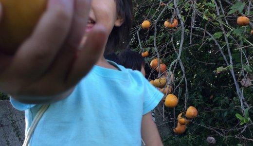 まっか〜か〜の柿の木